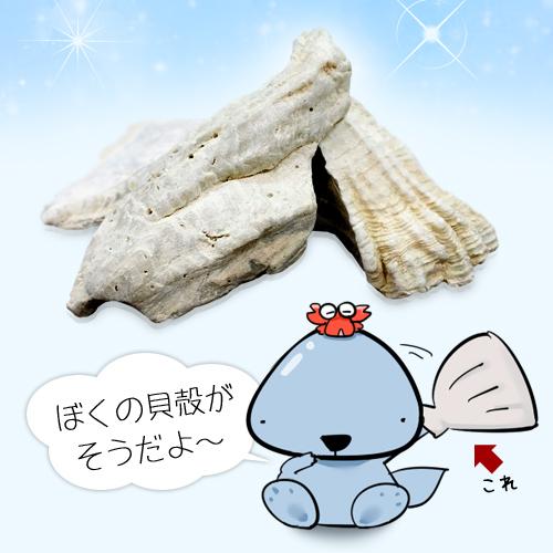 八雲風化貝カルシウム「リコボの善玉」の原料 カミオニシキ貝